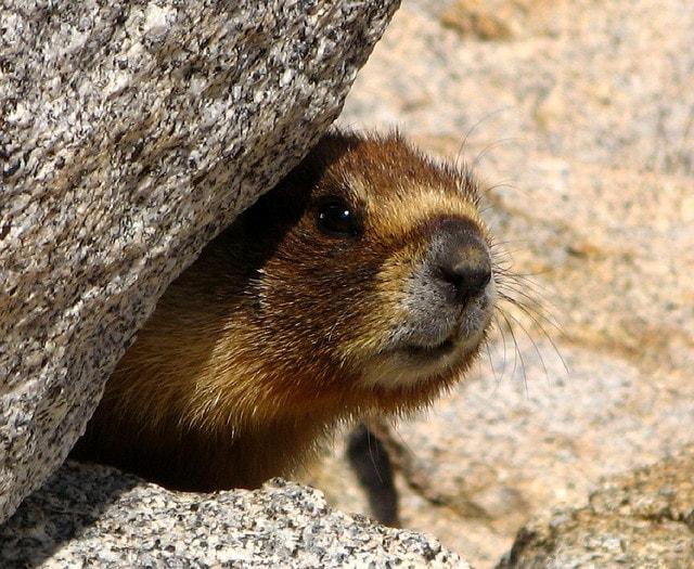 JMT marmot