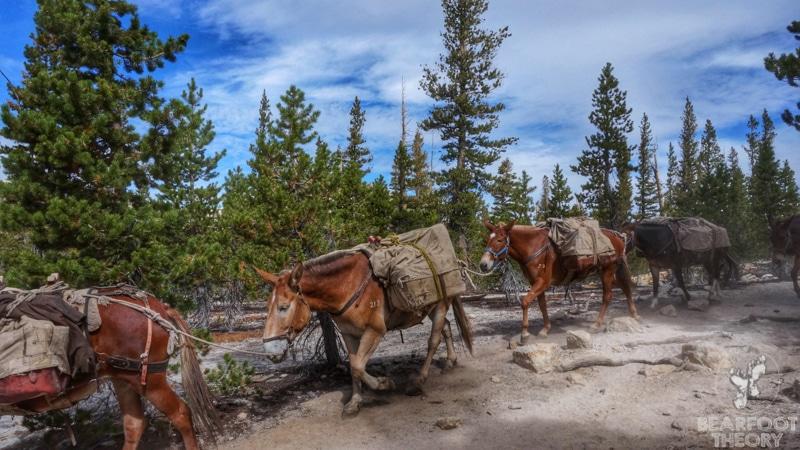 Tuolumne-meadows-pack-horses