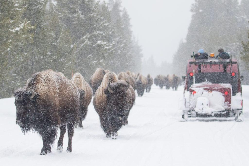 best-snowshoeing-destinations-Yellowstone-wyoming