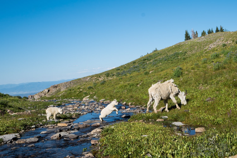 Mountain goats below Mount Timpanogos
