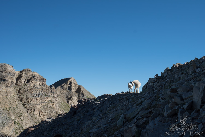 Mountain goats on Mount Timpanogos