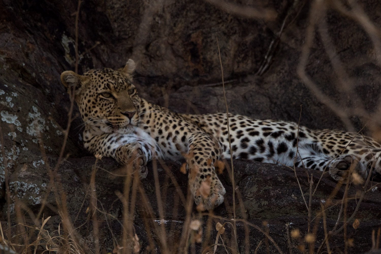Leopard during a Safari in Tanzania's Serengeti National Park