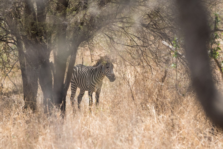 A zebra hiding out in Tarangire National Park