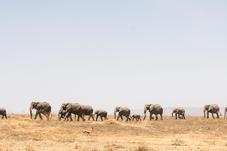 Elephants during a Safari in Tanzania's Serengeti National Park