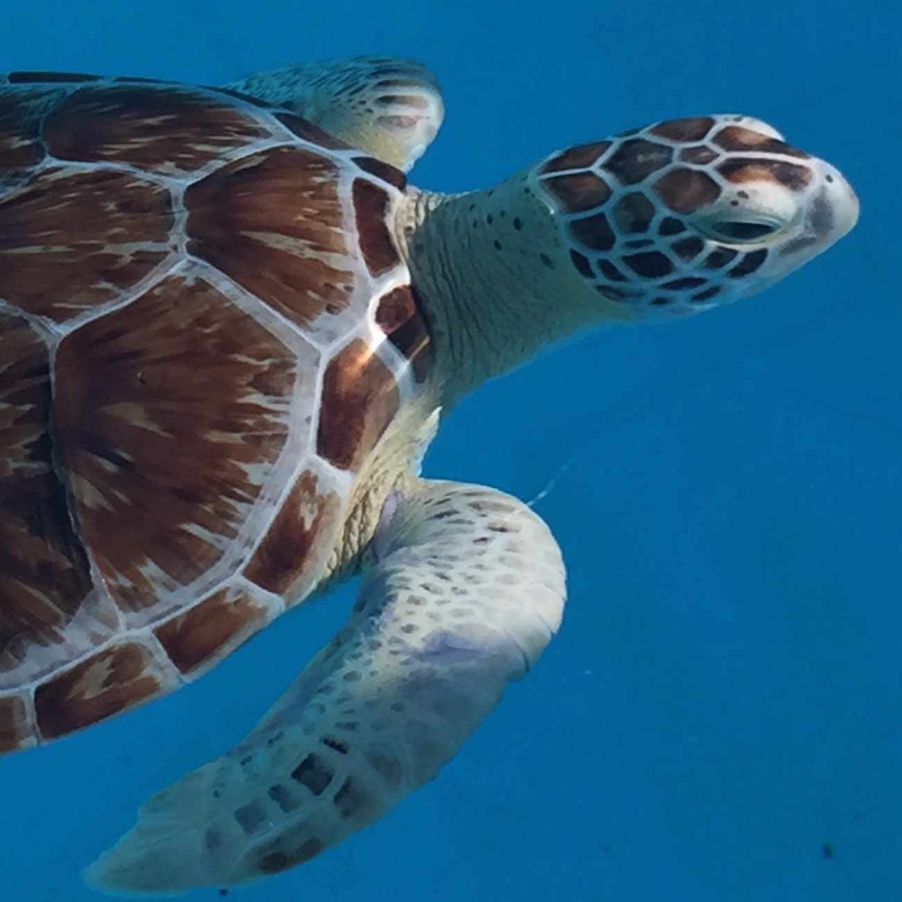 Sea turtle in Marathon Key, Florida