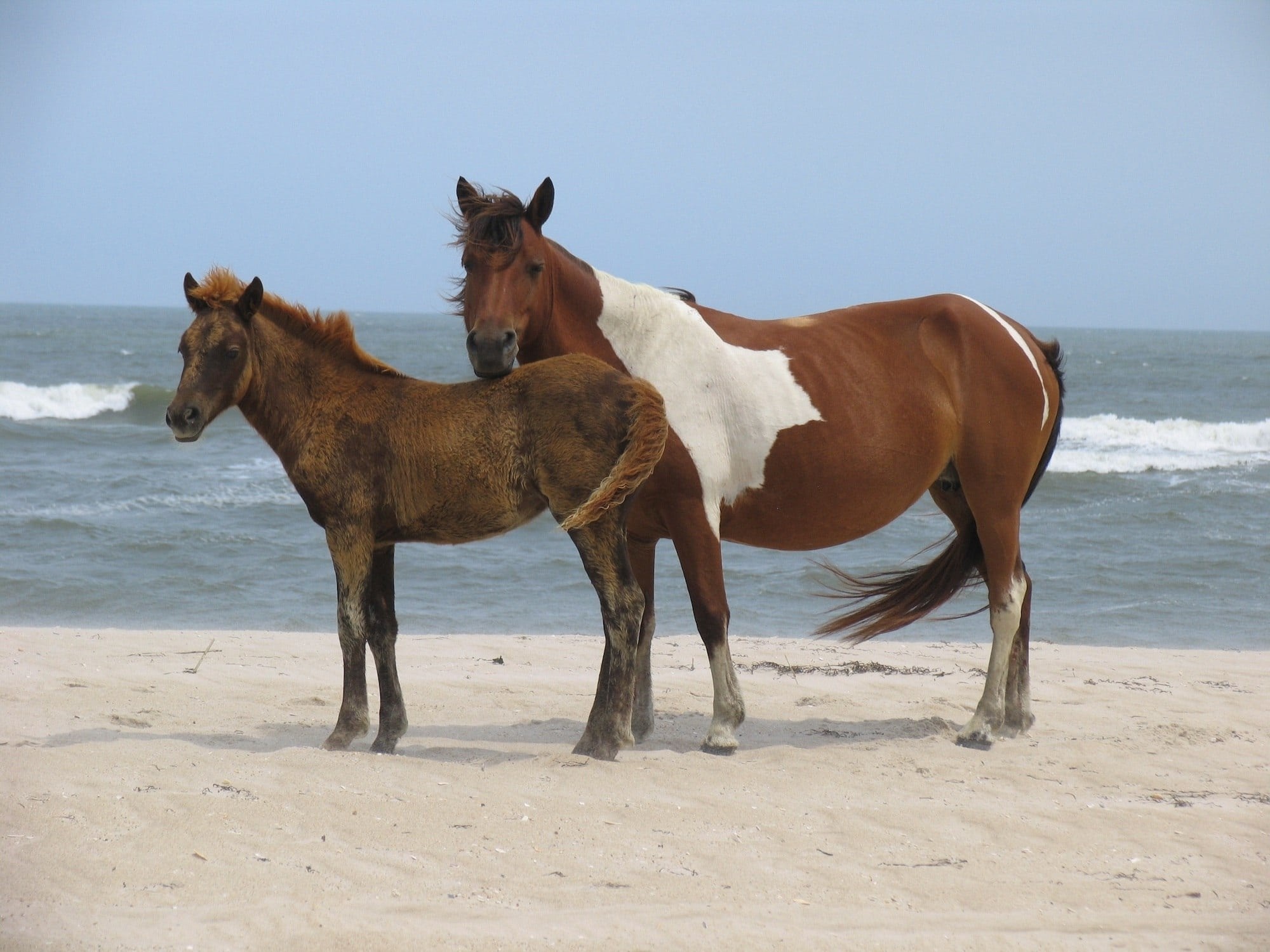 Assateague Island Wild Horses / Get our best Assateague Island camping tips and how to explore the Island's bike paths, wide-open beaches, beautiful forests, and more.