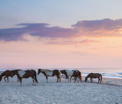 Discover Assateague Island camping and things to do including beach activities, bike paths, nature walks, beautiful forests, and more.