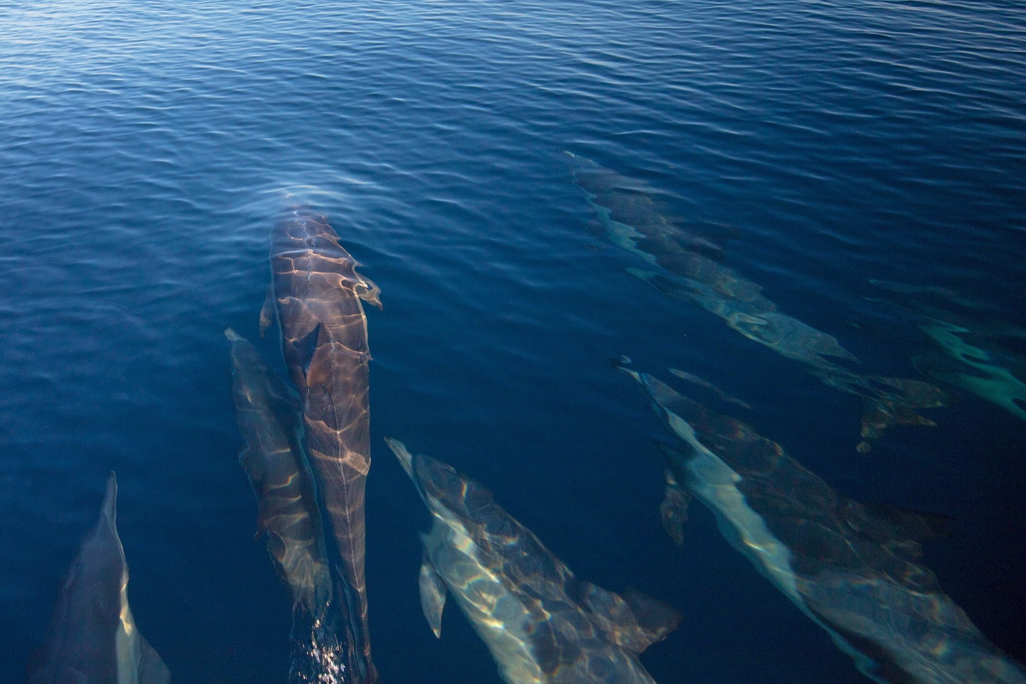 Dolphins in Channel Islands National Park // Get the scoop on camping, hiking, marine life & outdoor adventure in this outdoor enthusiasts guide to the five islands of Channel Islands National Park.