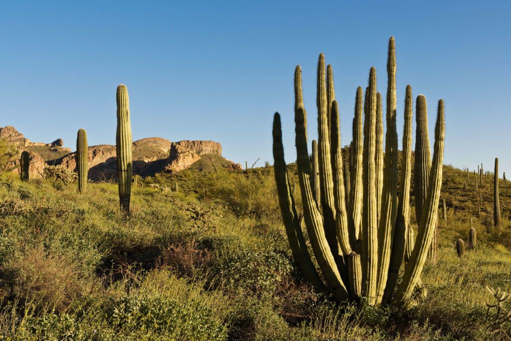 Organ Pipe Cactus National Monument / One of the best Arizona road trip stops for outdoor enthusiasts.