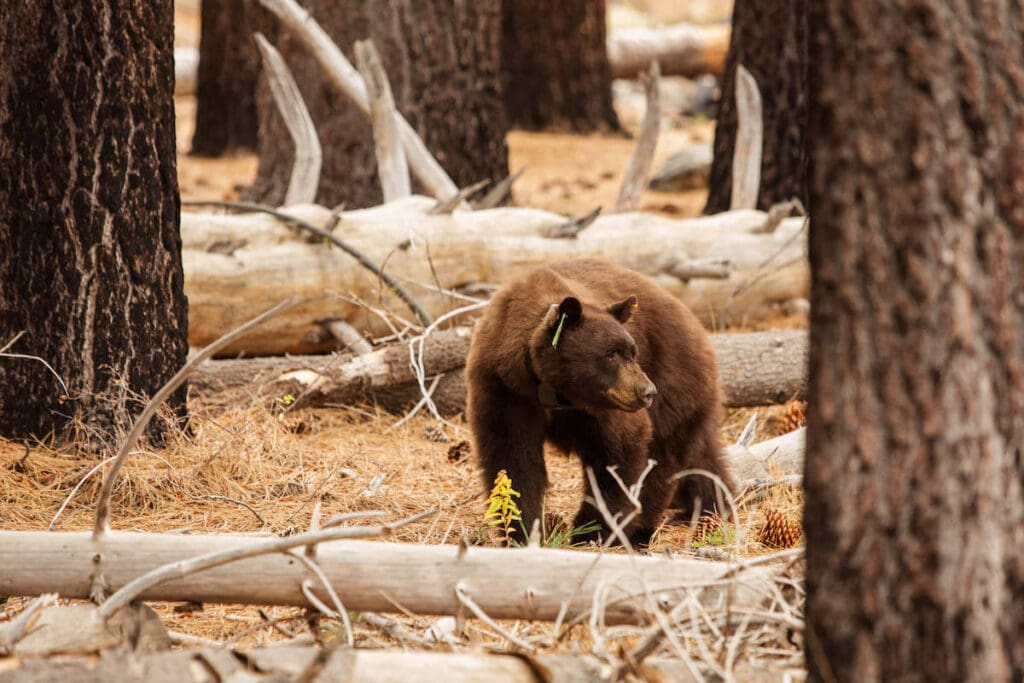 Black Bear in Yosemite // Stay prepared with these hiking safety tips, including what to wear, what to pack, and how to minimize any potential hiking dangers.