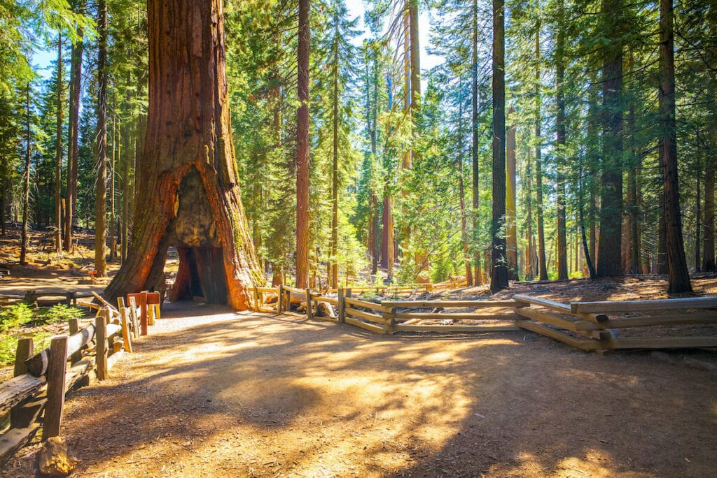 Grizzly Giant Tree // Looking for the best hikes in Yosemite National Park? We've got you covered with detailed trail guides for the park, including a map.