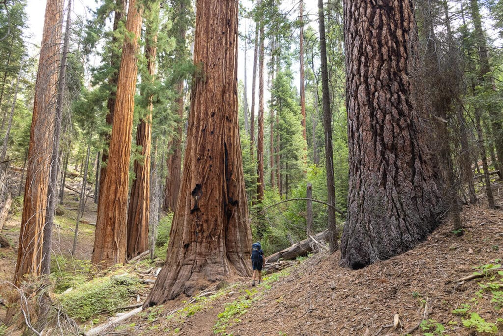 Hiking through a Sequoia grove on the Mineral King Loop