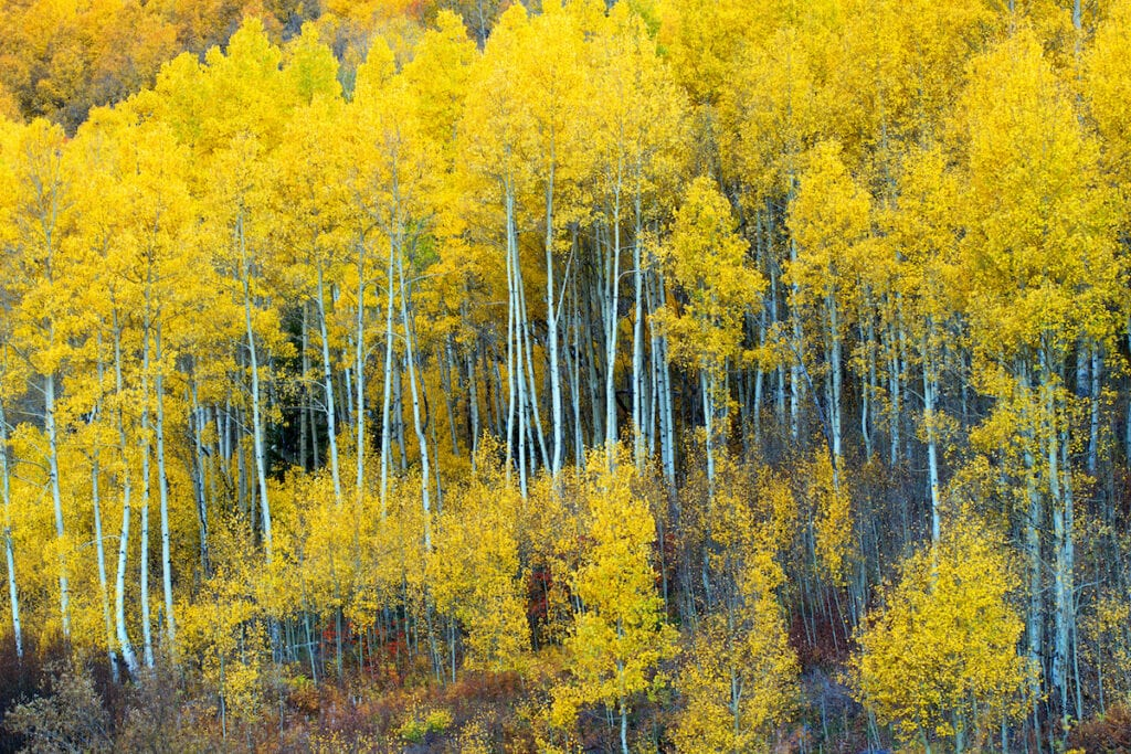 Aspens near Willow Lake // Learn about 12 of the best Salt Lake City hikes from alpine lakes to peaks to waterfalls including trail stats and trailhead info.